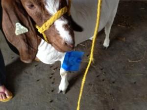 goat-pick-final-small