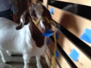 goat-pick-small