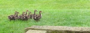 ducks-narrow-small-300x112