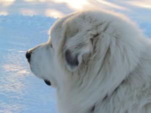 Snow dog.